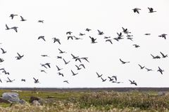 Barnacle goose flying Stock Image