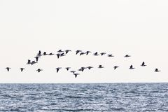 Barnacle goose flying Royalty Free Stock Images