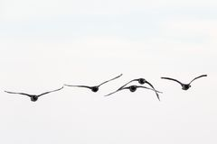 Barnacle goose flying Royalty Free Stock Photos