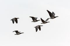 Barnacle goose flying Stock Photos