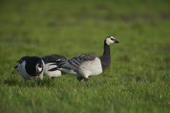 Barnacle goose Stock Photo