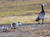 Barnacle goose with goslings - Arctic, Spitsbergen Stock Images