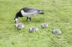 Barnacle Goose with Goslins. Feeding in meadow Stock Photo