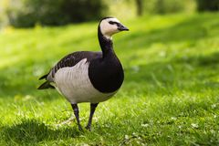 Barnacle Goose on Green Grass. Beautiful Barnacle Goose Standing on Green Grass With Shrubbery in the Background Stock Photography