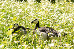 Barnacle Goose Stock Images