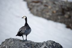 Barnacle goose perched on rock turning head Stock Images
