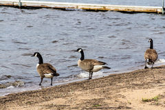 Barnacle goose on the sand Stock Photo