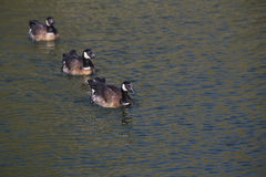 Barnacle goose in shimmering water Royalty Free Stock Photos