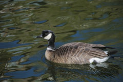 Barnacle goose in shimmering water Royalty Free Stock Photography