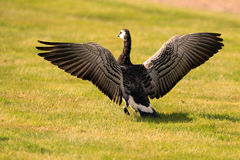 Barnacle goose spreading its wings Stock Image