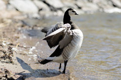 Barnacle Goose standing on the beach. Stock Photo