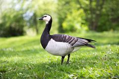 Barnacle Goose Standing on Green Grass. Beautiful Barnacle Goose Standing on Green Grass With Shrubbery in the Background Stock Image