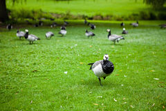 Barnacle goose - Standing out from the crowd royalty free stock photo