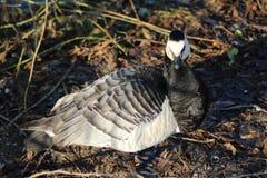 Barnacle goose Stock Photography