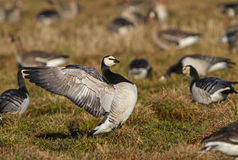 A Barnacle Goose stretching its wings Stock Photos