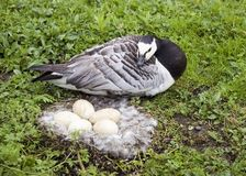Barnacle Goose With Eggs In Nest Stock Photo