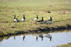 Barnacle gooses Royalty Free Stock Images