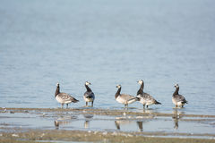 Barnacle Gooses Stock Image