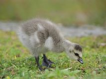 Barnacle Gosling. A small barnacle goose in the grass looking for food Royalty Free Stock Photography