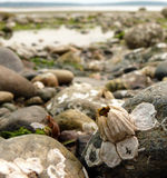 Barnacle sozinho na praia dobro do blefe Imagem de Stock