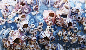 Barnacle Royalty Free Stock Photography