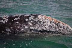 Barnacled gray whale royalty free stock photo