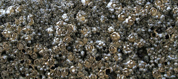 Barnacles. A row of barnacles on a rock Royalty Free Stock Photo