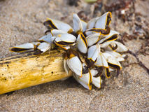 Barnacles Royalty Free Stock Photos