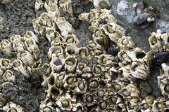 Barnacles Stock Photography