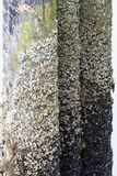 Barnacles Royalty Free Stock Images