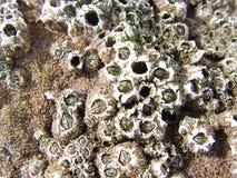 Barnacles anexados à rocha Imagens de Stock Royalty Free