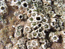 Barnacles attached to rock. At the seashore Royalty Free Stock Images