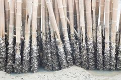 Barnacles on bamboo, breakwater royalty free stock photography