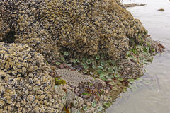 Barnacles, Clams, and Anemones at Low Tide Royalty Free Stock Image