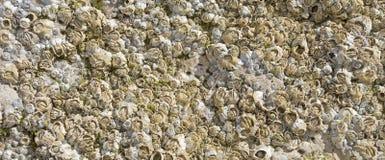 Barnacles on coastal rock Royalty Free Stock Photography