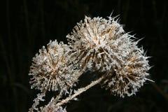 Barnacles gelados Imagens de Stock