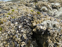 Barnacles and mussels Stock Photos