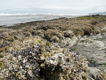 Barnacles and mussels Royalty Free Stock Image