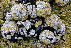 Barnacles and Mussels Stock Photo