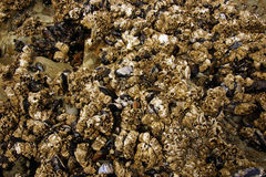 Barnacles and mussels exposed on sea rocks Stock Photo