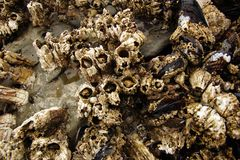 Barnacles and mussels exposed on sea rocks Stock Photography