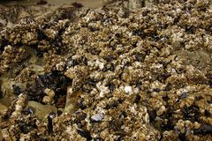 Barnacles and mussels exposed on sea rocks Stock Images