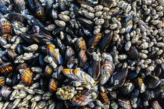 Mussels and Barnacles Texture royalty free stock image