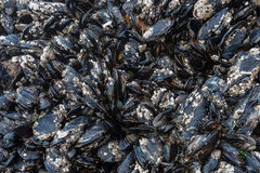 Barnacles and Mussels on Rocks in Tidepool Stock Image