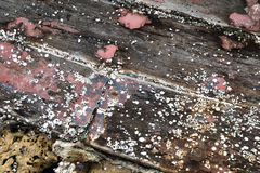 Barnacles on old wooden boat. Stock Photos