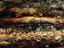 Barnacles oxidados Imagens de Stock Royalty Free