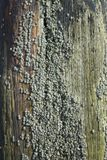 Barnacles On Wood Royalty Free Stock Photography