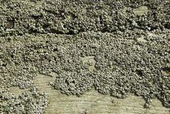 Barnacles On Wood Stock Photos