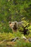Barnbjörn Fotografering för Bildbyråer