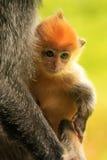Barnet behandla som ett barn av Silvered apan för bladet, Sepilok, Borneo Royaltyfria Bilder